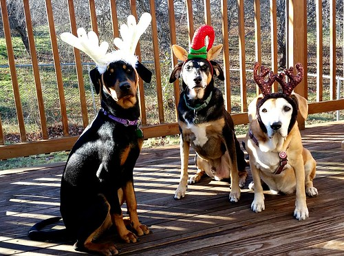 3 dogs in Christmas antlers - Lapdog Creations