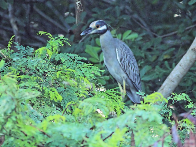Yellow-crowned Night-Heron Dirty Crown 20160101