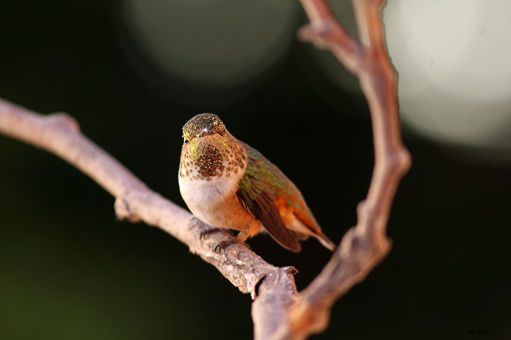 Allen's-Hummingbird-030116-2