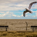 seagull over benches