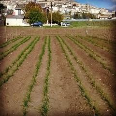 Raccolta finita?!? #zafferano #navelli #laquila #abruzzo #italy #spezie #tasteabruzzo #foodie #borghipiubelli #borghitalia #yourabruzzo #nature