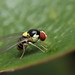 A flashy little fly on camellia leaf by Lord V