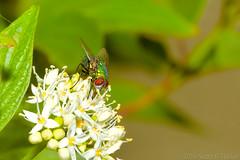 Green Bottle On Honeysuckle Blooms