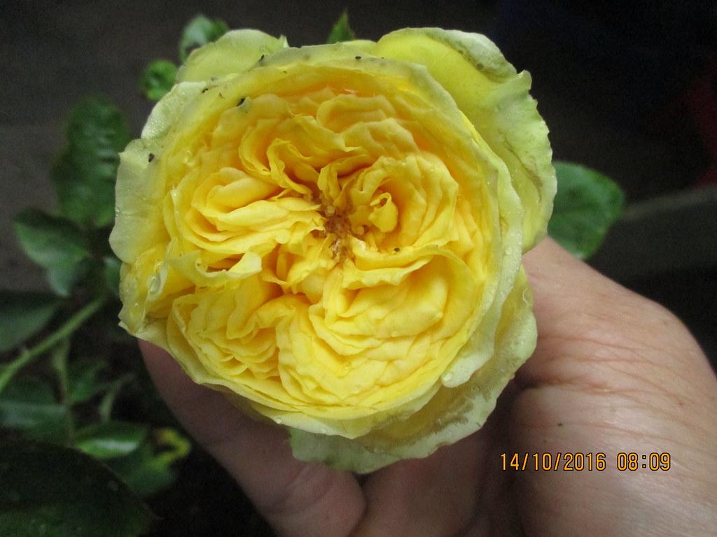 Form hoa hồng Catalina