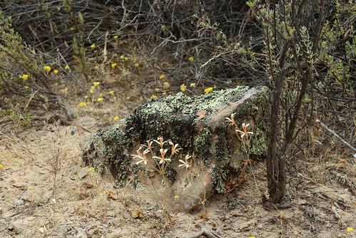 Pelargonium wuppertalense