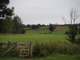Ash Valley with Cows