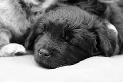 Berger des Pyrénées puppy
