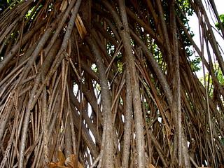 Ficus microcarpa roots ----- DSC01257