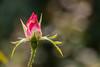 Rose's Blossom by Eleonora Cacciari