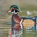wood duck (aix sponsa) by punkbirdr