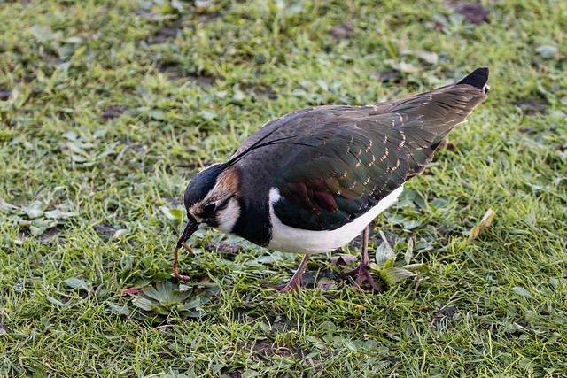Lapwing with worm 020 (89)