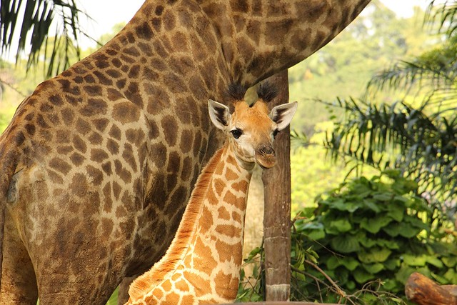 Singapore Zoo's First Giraffe Calf in 28 years Finally Makes Debut