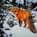 Red Fox by Tim Harding