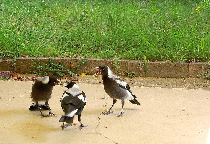 _magpies_2_