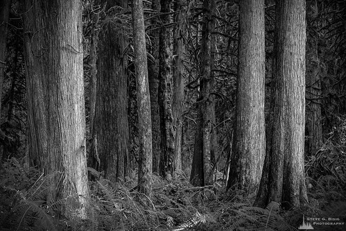 blackandwhite usa nature monochrome forest photography washington unitedstates northwest cedar pacificnorthwest northamerica ferns washingtonstate blackandwhitephotography photooftheday naturephotography lewiscounty lewisandclarkstatepark photographersontumblr originalphotographers