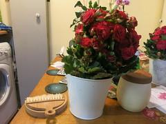 Christmas Begonia