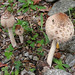 Small photo of Amanita rubescens