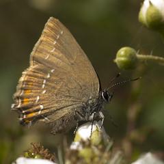 Bruine eikenpage (Satyrium ilicis)