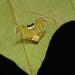 Derbid Planthopper (possibly Rhotana sp., Rhotanini, Derbidae) by John Horstman (itchydogimages, SINOBUG)