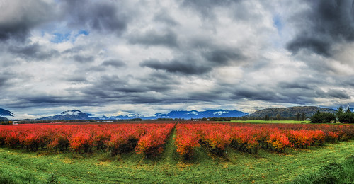 blueberryfields 5shotpano pano panorama autumn red dramaticclouds clouds mountains fraservalley agassiz nikond7000 nikon18200mmvrii martinsmith deroche britishcolumbia canada ca landscape farmfields ©martinsmith