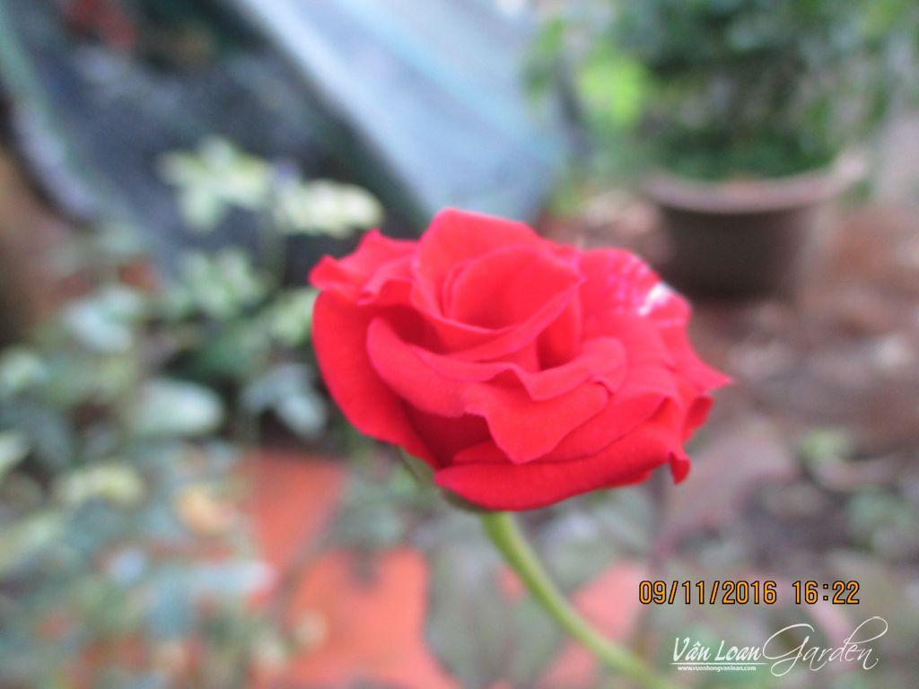 hoa hong nhung da lat-vuonhongvanloan.com