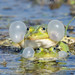 Edible Frogs (Tim Melling)