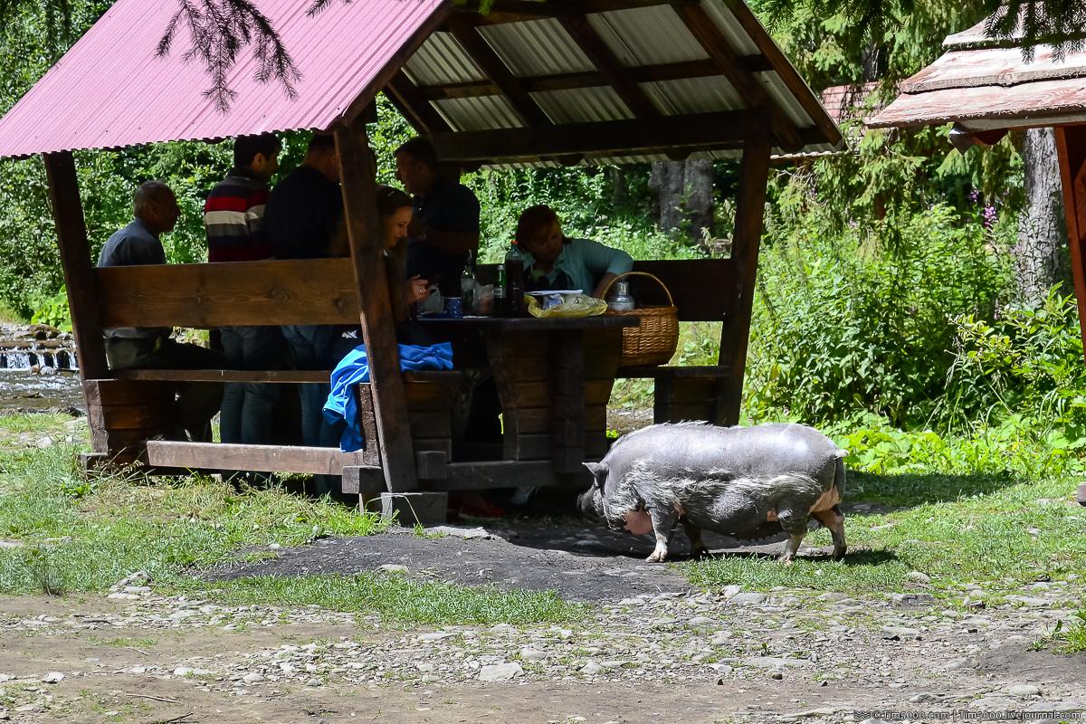Водопад Шипот. Колоритная свинка
