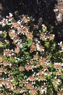Butterfly Arl VA 10-17-14 2