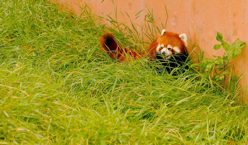 Red Panda_2