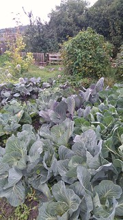 Cabbages, various