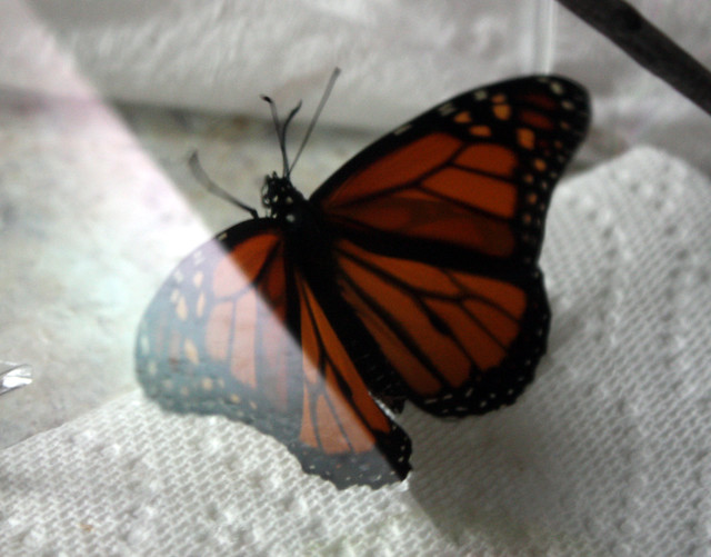 plastic container with a butterfly ready for release