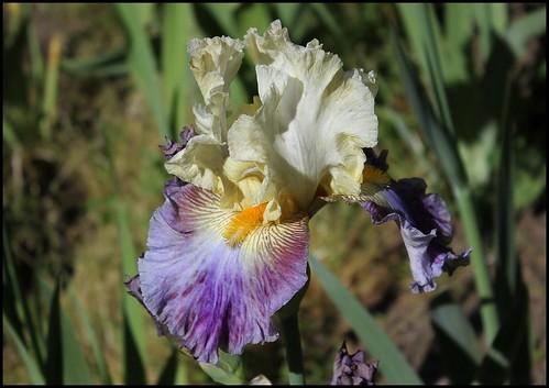 Iris Gentilhomme du Barry