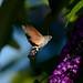 kolibrievlinder | hummingbird hawk-moth by _jEwE_