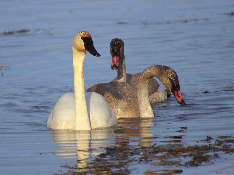 IMG_5036 Trumpeter Swan, National Elk Refuge