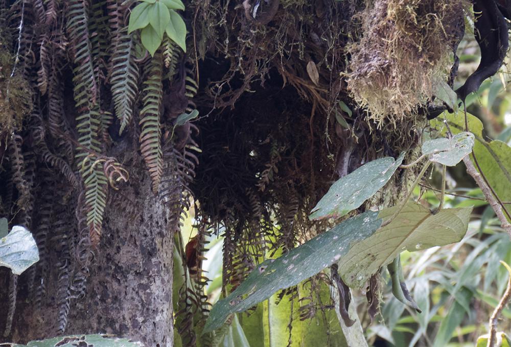 Crested Quetzal nest
