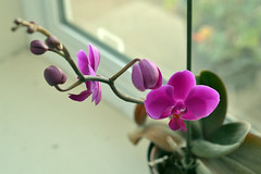 orchid on my windowsill