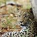Leopard by wildphilip