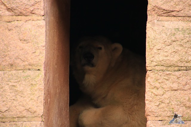 Eisbär Fiete im Zoo Rostock 12.12.2015   184