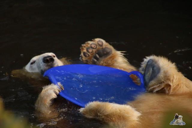 Eisbär Fiete im Zoo Rostock  083