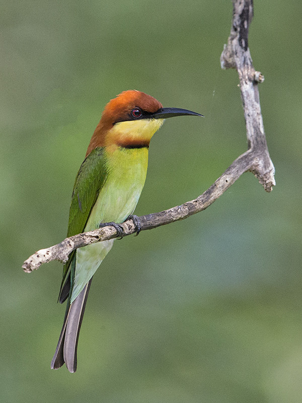 Chestnut-headed Bee-eater 3