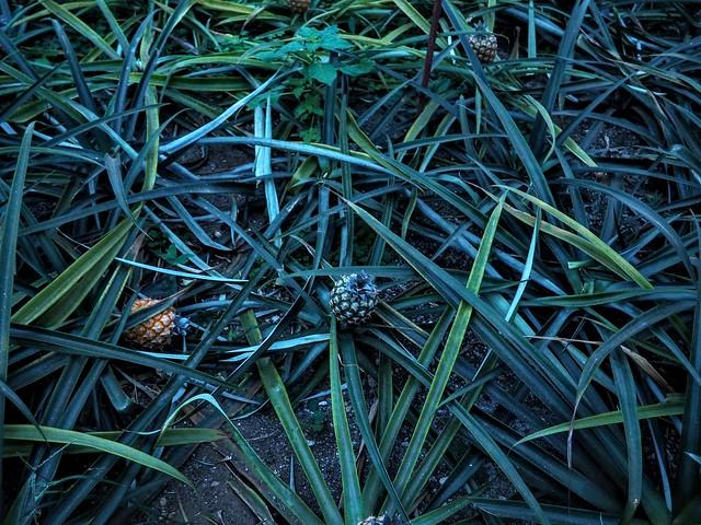 Des plantations d'ananas sur São Miguel...