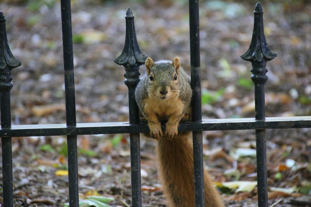 130/365/3052 (October 19, 2016) - Squirrels in Ann Arbor at the University of Michigan (October 19, 2016)