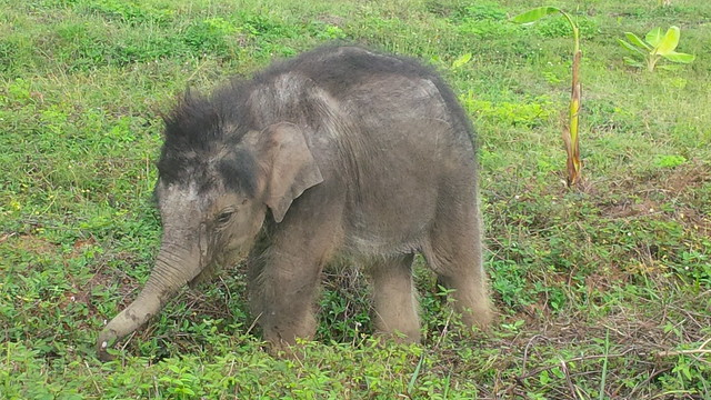 Rescued calf Gold at the Elephant Conservation Centre