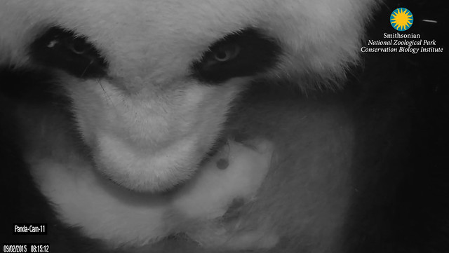 Mei Xiang and her cub Sept. 2