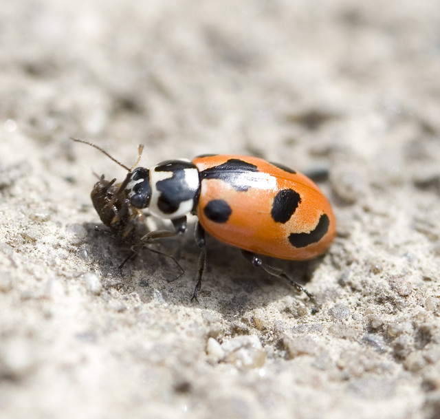 Parenthesis Lady Beetle