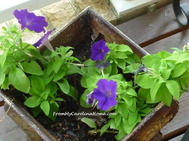 Late August Garden - petunia