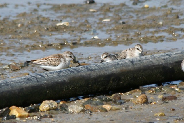 Western Sandpiper with SESA