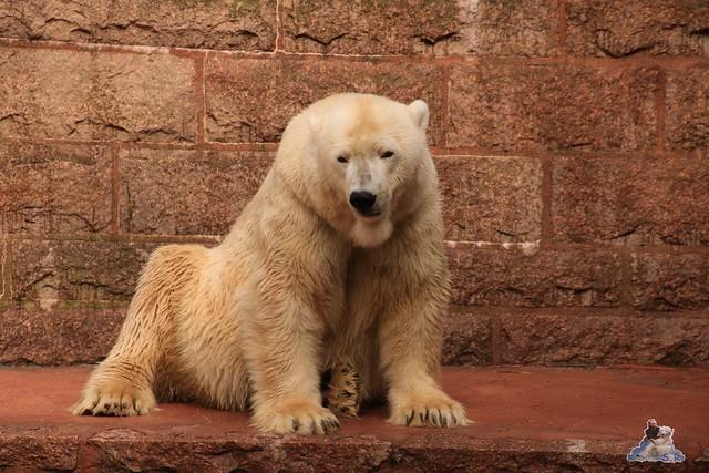 Eisbär Fiete im Zoo Rostock 05.09.2015  0158