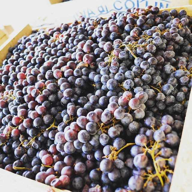 It's the most wonderful time of the year. #365photochallenge #grapes #makingwine #merlot #cabsav
