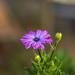 Purple beauty by annfrau